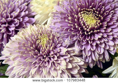 Variety of chrysanthemums.