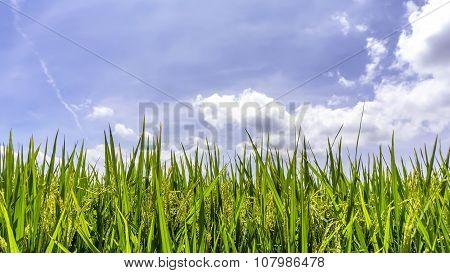 Green Paddy Rice Field