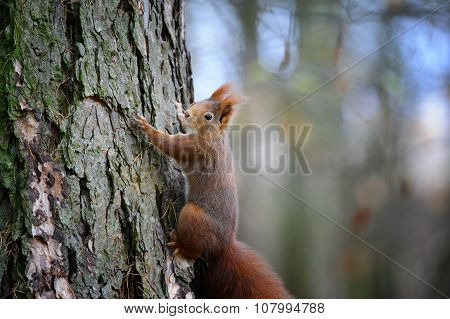 Cute Red Squirrel Climbing On Tree Trunk Bark