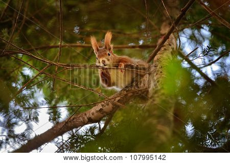 Cute Red Squirrel Hidden In Branches On Coniferous Tree