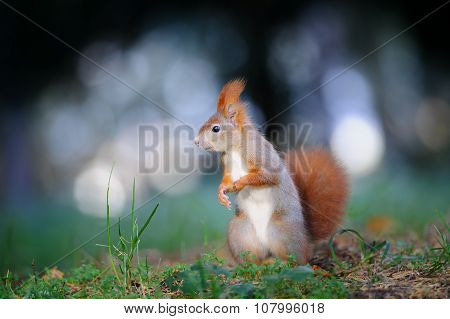 Curious Cute Red Squirrel Looking Right In Autumn Forest Ground
