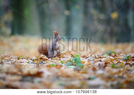 Curious Cute Red Squirrel Standing In Autumn Forest Ground