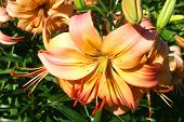 stock photo of asiatic lily  - an asiatic lily blossom in the summer garden - JPG