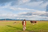stock photo of clydesdale  - This late afternoon shot of a herd of Clydesdale horses was taken in Sonoma - JPG