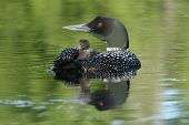 stock photo of loon  - Baby loon riding on mother - JPG