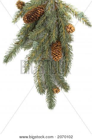 Rama de árbol de pino