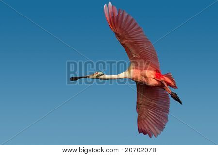 Roseate Spoonbill (platelea Ajaja)