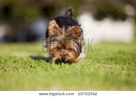 Small puppy sniffing at the grass