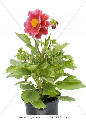 Small Flower In A Small Pot