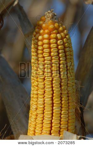 Harvest Ear 3