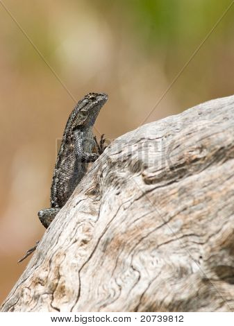 Western Fence Swift Lizard