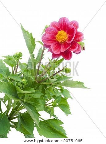 Dwarfish Dahlia Background