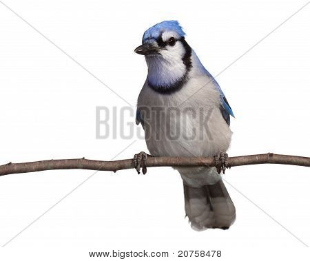 Bluejay at Rest