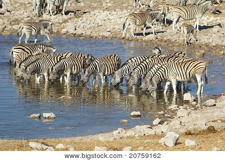 Zebras at waterhole