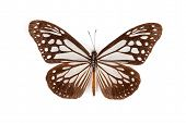pic of sita  - Brown and white butterfly Parantica sita isolated on white background - JPG