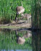 stock photo of mother goose  - A mother and baby Goose looking at their reflection in the water - JPG