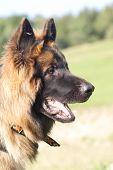 foto of german-sheperd  - portrait of friendly dog - log hair german sheperd ** Note: Slight blurriness, best at smaller sizes - JPG