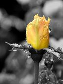 stock photo of yellow rose  - yellow rose with black and white background - JPG