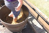 picture of stomp  - A boy stomping grapes to make wine - JPG