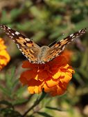pic of pubescent  - The orange butterfly sitting on a beautiful orange flower - JPG