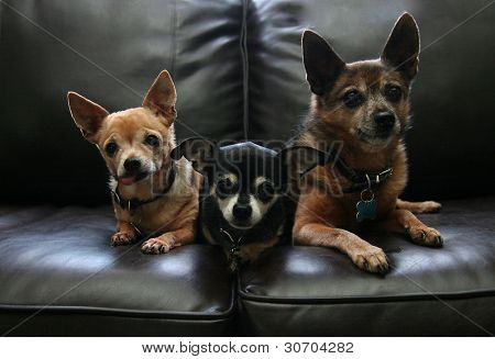 three chihuahuas on a couch