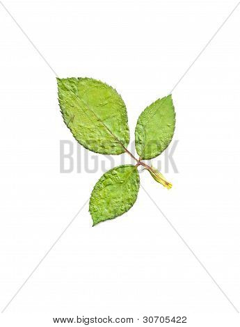 Press Green Leaf