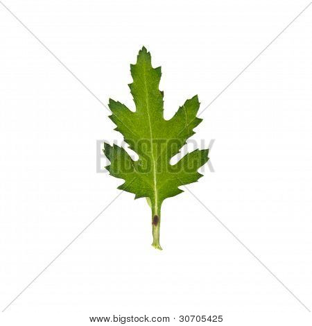 Press Mum Flower Leaf