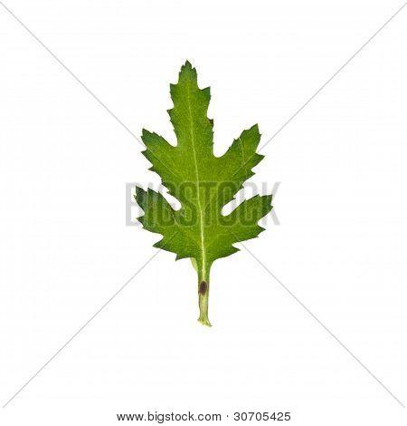 Press Mum Flower Leaf