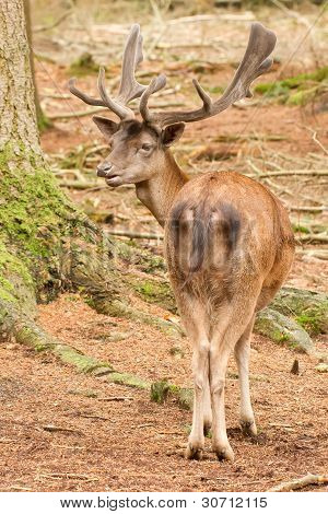 A Red Deer In The Woods