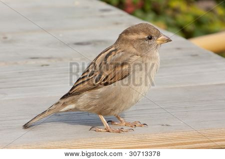 Sparrow On A Table