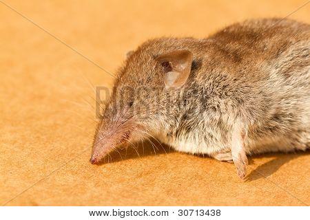A Dead Mouse