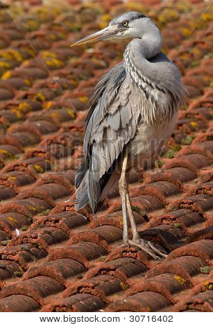 A Blue Heron On A Roof