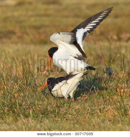 Two Breeding Oystercatchers