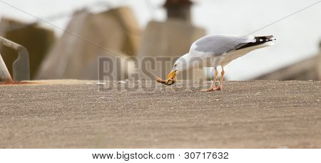A Seagull Is Eating Crab
