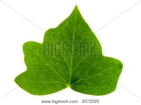 Leaf Of Ivy