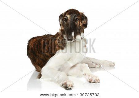 Russian Borzoi Puppy (5 Months) Lying