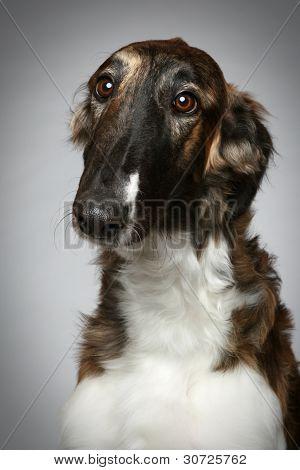 Russian Borzoi Puppy (5 Months) Close-up Portrait
