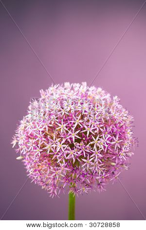 Purple alium onion flower with copy-space