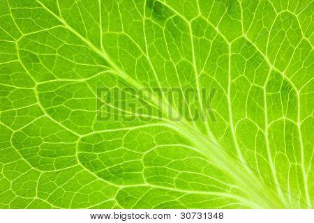 Fresh Green Leaf of Lettuce  / Super Macro