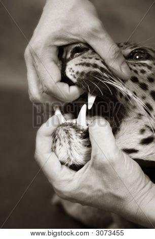 Furious Leopard