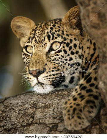 Close-up portrait of a leopard lying in a tree; Panthera pardus
