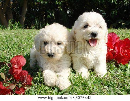 Poodle Pups