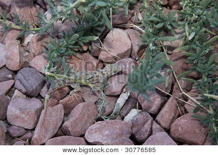 Geko in rocks