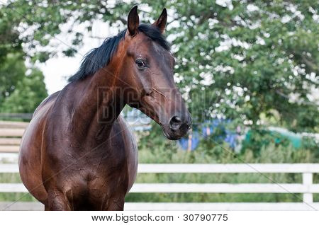 Portrait bay horse in the paddock