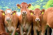 Herd Of Cows Close Up - Limousin Breed poster
