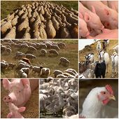 Collage Of Farm Animals. Agricultural Collage With Different Domestic Animal On The Farm. Agricultur poster