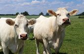 Close-up Of Two White Charolais Cows On A Green Pasture poster