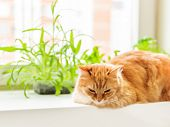 Cute Ginger Cat Is Sitting On Window Sill Near Flower Pots With Rocket Salad, Basil And Cat Grass. F poster