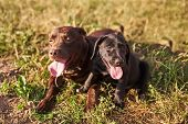 Adult Labrador Brown Color And A Small Puppy Labrador Black Color, Sticking Out His Tongue, Lie Next poster