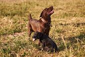 Adult Labrador And Cute Labrador Puppy Next To Each Other On The Grass For Any Purpose poster